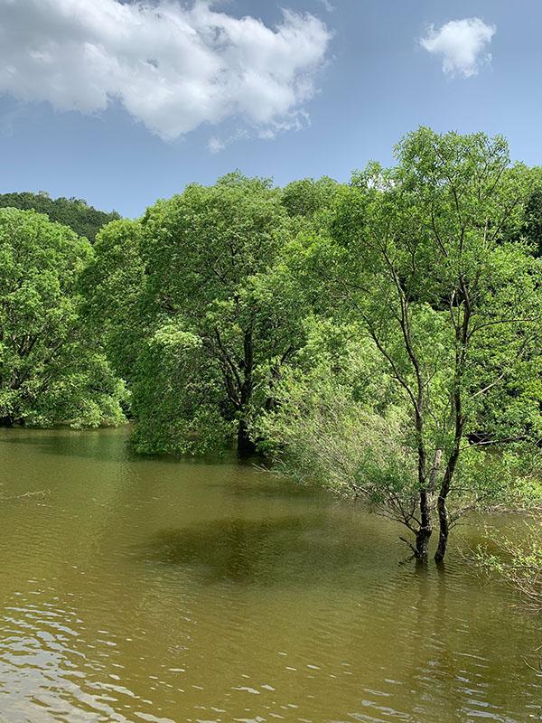 室生ダムの水没林